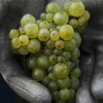 CLR_Grape_Chardonnay_HighRes
