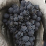 CLR_Grape_Pinot2_HighRes
